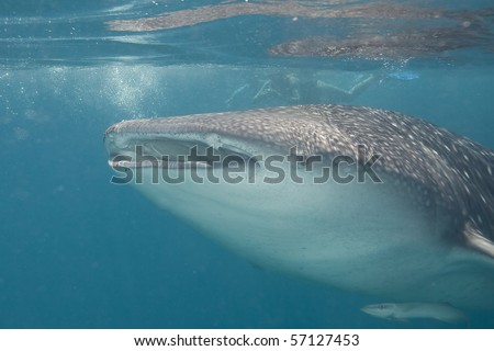 A giant whale shark - stock photo