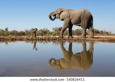 A gigantic African elephant bull standing next to a waterhole with its whole body reflecting on the water's surface - stock photo