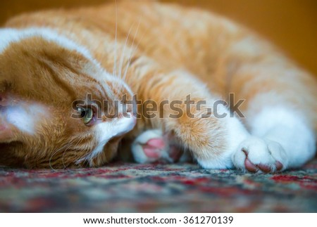 A Ginger Cat laying on oriental carpet. - stock photo