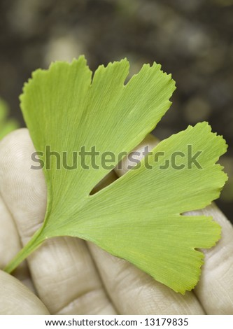a ginkgo leaf in hand