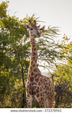 A giraffe and a friendly Red Oxpecker bird - stock photo