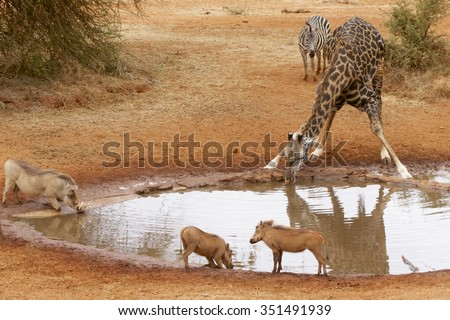 A giraffe and warthogs drink at a watering hole while a zebra awaits his turn - stock photo