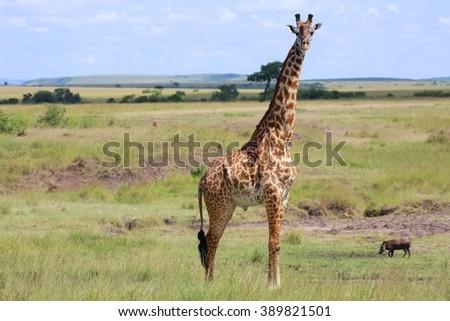 a giraffe at the masai mara national park kenya - stock photo