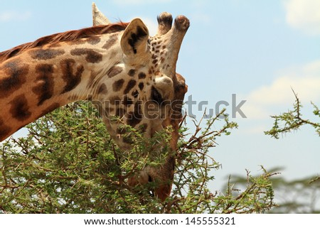 A giraffe demonstrating how it can eat leaves from the thorny acacia tree
