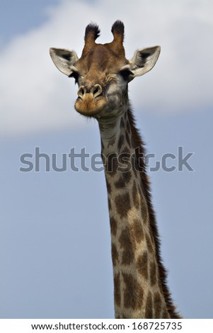 A giraffe in a South African game park. - stock photo