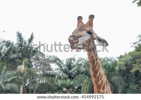 A giraffe in Sao Paulo zoo, Brazil - stock photo