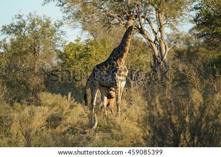 A giraffe in the Okavangodelta, Botswana, Africa. - stock photo