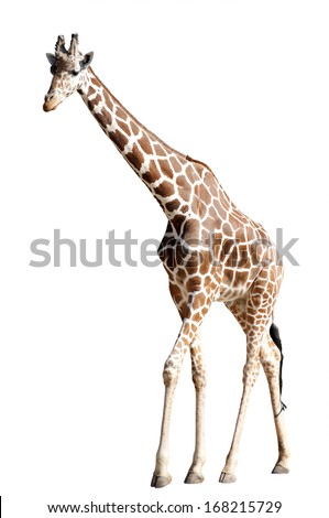 A Giraffe Isolated on White - stock photo