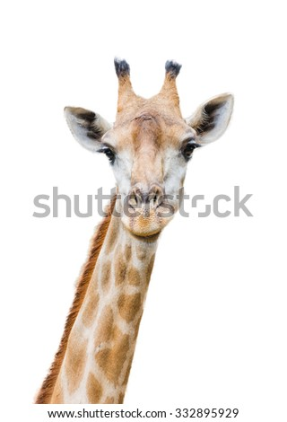 A Giraffe Isolated on White Background - stock photo