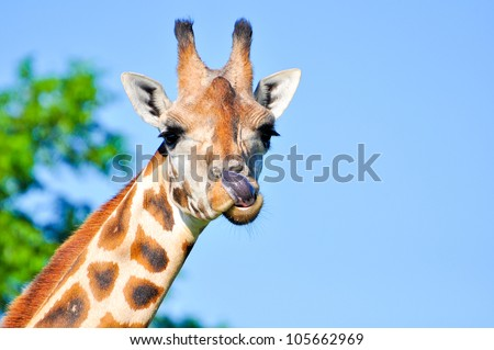 A giraffe licking its mouth with its purple tongue