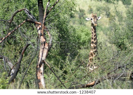 A giraffe looking through the trees - stock photo