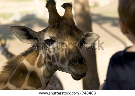 A Giraffe looking towards a boy for food.