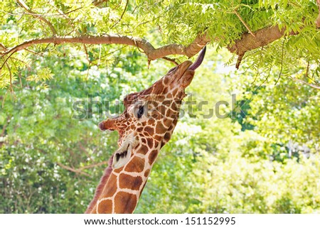 A giraffe profile  portrait reaching for leaves with an outstretched neck and tongue reaching up to a high tree limb. - stock photo
