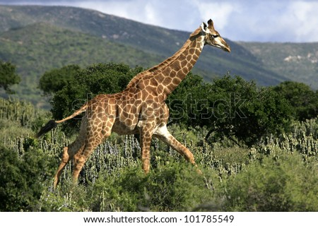 A giraffe runs off in the african bush with the beautiful karoo hills as a backdrop - stock photo