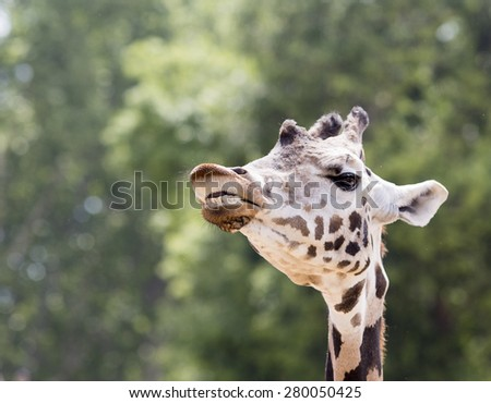 A giraffe showing it's teeth. - stock photo
