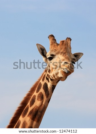 A giraffe showing us her tongue