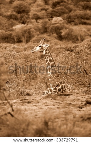A giraffe sitting down in this unique image from South Africa - stock photo