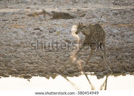 A giraffe spraying its drink in Etosha National Park