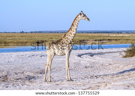 A giraffe standing at the beach at Chobe national park in Botswana at the border to Namibia - stock photo