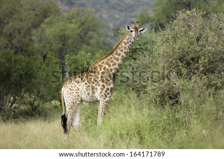A giraffe standing in the African bush. looking forwards. - stock photo
