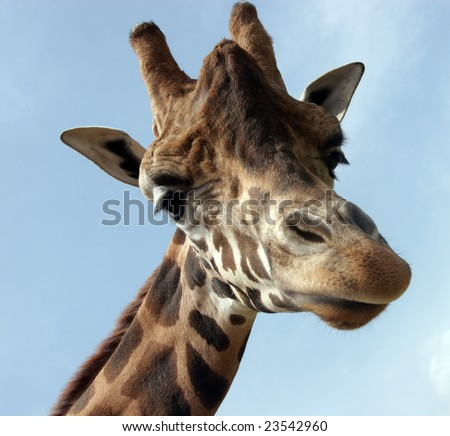 A giraffe that extension attention - stock photo