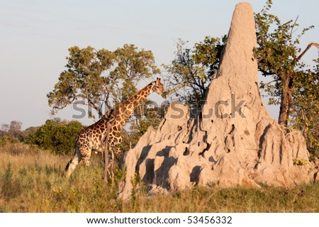 A giraffe walks behind a termite mound in the bushland of the Okavango Delta in Botswana.