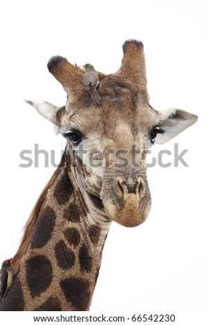A giraffe with oxpeckers on it's head and neck, isolated.