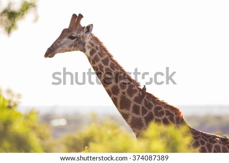 A Giraffe with with an Oxpecker bird on its back - stock photo