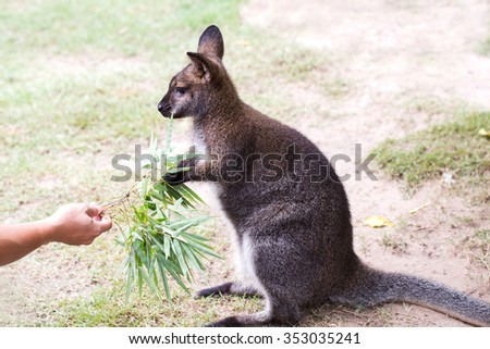 a girl is feed meal to wallaby kangaroo