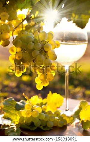 a glass of white wine with fresh grapes on a vineyard, sundown on vineyard in autumn