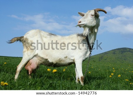 A goat in a pasture with a grassy hill in the background - stock photo