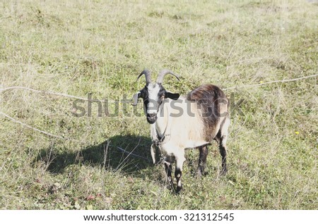 A goat on a leash