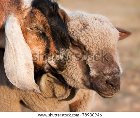 A goat showing affection to a sheep - stock photo