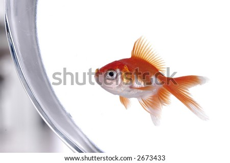 A gold and white goldfish peers out of its bowl. - stock photo