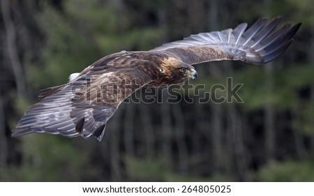A Golden Eagle (Aquila chrysaetos) flying through the air.  - stock photo