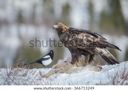 A golden eagle high in the Flatanger mountains, Norway,  scavenges from a roe deer - stock photo