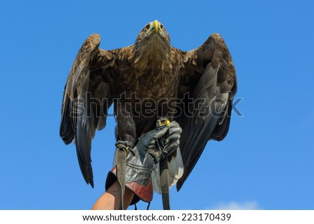 A Golden Eagle on a gauntlet against a blue sky - stock photo