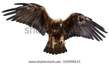a golden eagle with spread wings, isolated over white - stock photo