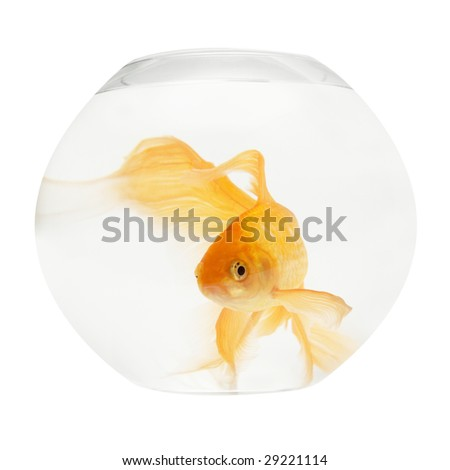 A golden fish in aquarium isolated on white. - stock photo
