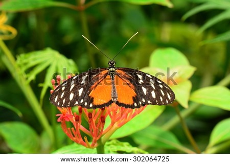 A Golden Helicon butterfly lands in the butterfly gardens. - stock photo