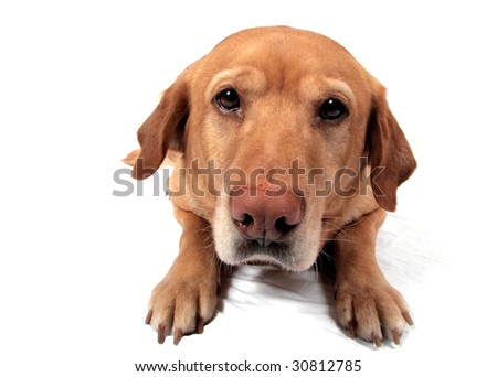 A Golden Lab in front of a white background being silly. - stock photo