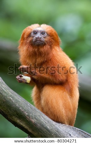 A golden lion tamarin (Leontopithecus rosalia) - stock photo
