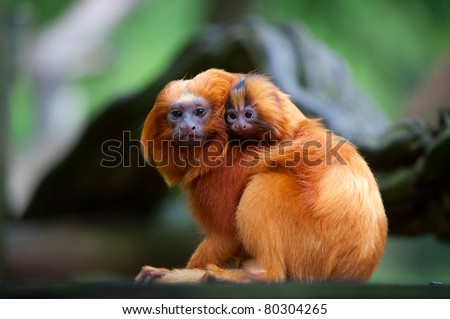 A golden lion tamarin with baby (Leontopithecus rosalia) - stock photo