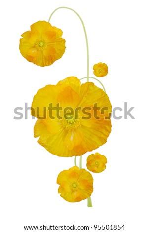 Golden poppy flower symbolic stock photo royalty free 95501854 a golden poppy flower symbolic mightylinksfo