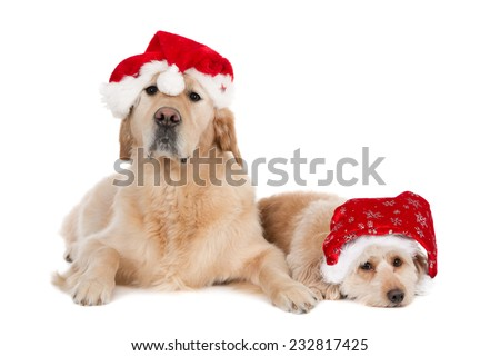 A Golden Retriever and a small crossbreed wearing Christmas hats, isolated on white - stock photo
