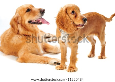 A golden retriever and cocker spaniel puppy in the studio