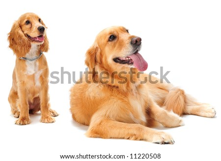 A golden retriever and cocker spaniel puppy in the studio - stock photo