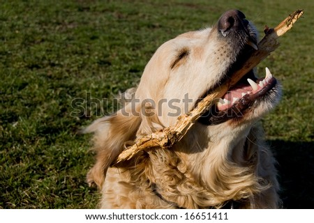 a golden retriever cleaning his teeth - stock photo