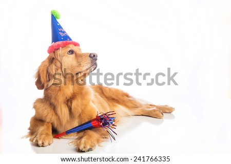 A golden retriever dog celebrating a birthday - stock photo