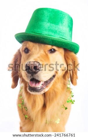 A golden retriever dog celebrating a birthday - stock photo